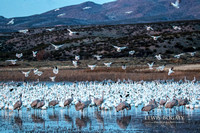 Snow Geese And Cranes, Early Morning