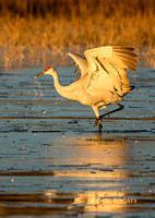 Sandhill Crane, Morning Light