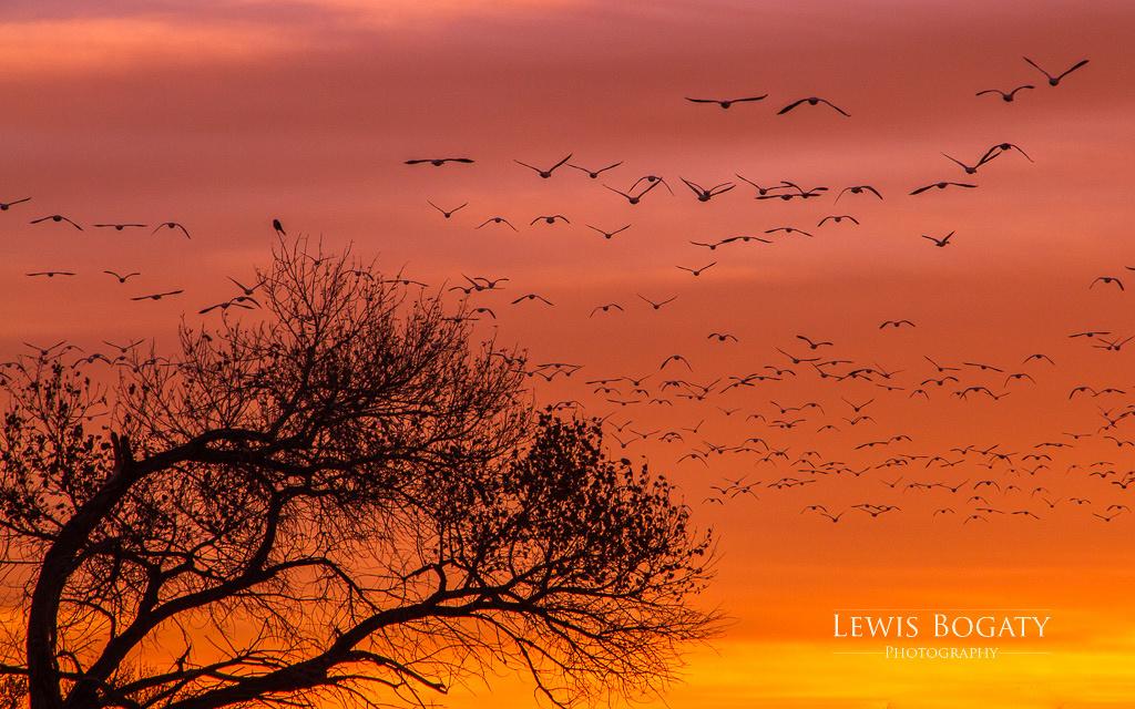 Snow Geese At Sunrise
