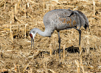 Crane In The Corn Field