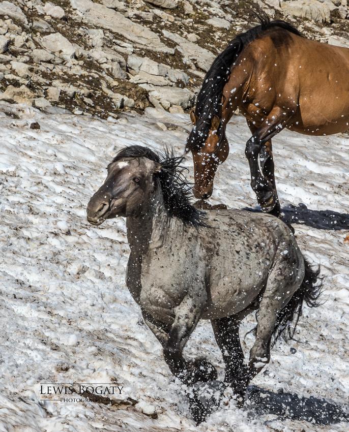 Pryor Mountain wild horses in snow