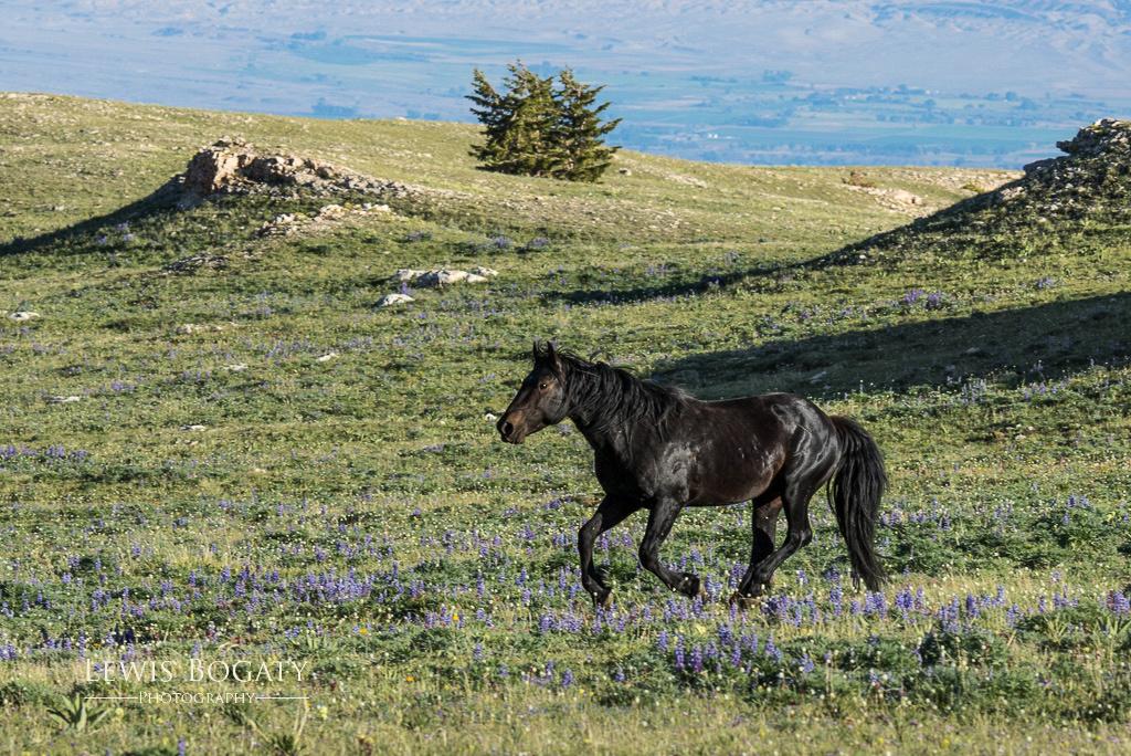 Pryor Mountain wild horse with wildflowers
