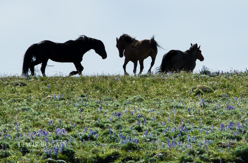 Pryor Mountain wild horses with wildflowers
