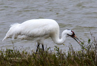 Whooping Crane With Berry