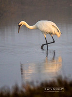 Whooping Crane in the Mist