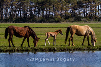 Wild Ponies of Chincoteague Island