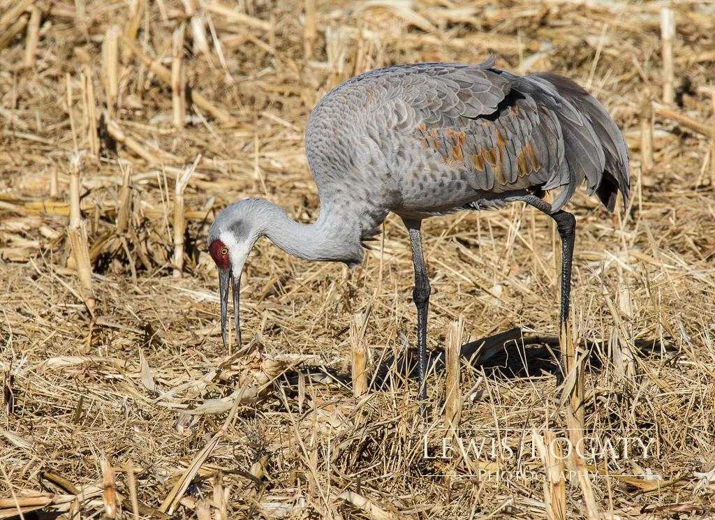 Crane In The Corn Field