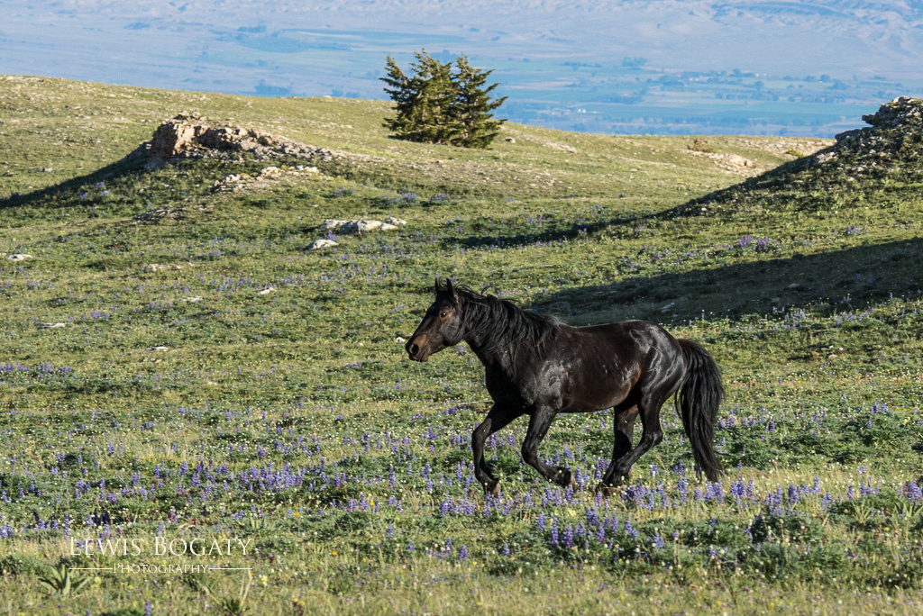 Pryor Mountain wild horse with wildflowers