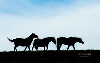 Wild Horses: Pryor Mountain MT; Pilot Butte WY