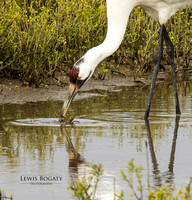 Whooping Crane Catching A Crab
