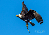 Conowingo Dam: Eagles