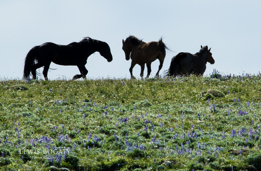 Pryor Mountain wild horses with wildflowers